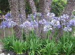 Photo Lily of the Nile, African Lily description