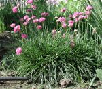 Photo Sea pink, Sea thrift description