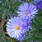 Photo Aster la description