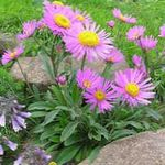 Photo Alpine Aster description