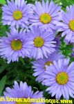 Photo Aster Alpin la description