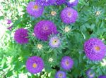Photo China Aster description