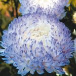Photo China Aster la description