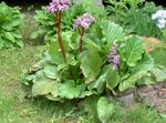 Photo Bergenia description