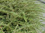 Photo Cotoneaster Horizontalis la description