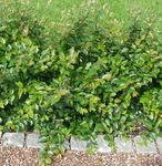 Photo Cotonéaster De Couverture, Cotonéaster Européen la description
