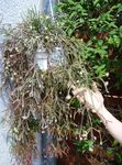 Photo Rhipsalis Wood Cactus description
