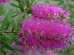 Photo Bottlebrush Shrub description
