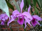 Photo Laelia Herbaceous Plant description