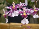 Photo Dancing Lady Orchid, Cedros Bee, Leopard Orchid Herbaceous Plant description