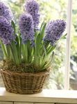 Photo Hyacinth Herbaceous Plant description