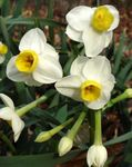 Photo Daffodils, Daffy Down Dilly Herbaceous Plant description