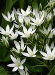 Photo Drooping Star of Bethlehem Herbaceous Plant description