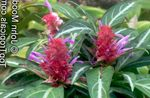 Photo Porphyrocoma Herbaceous Plant description