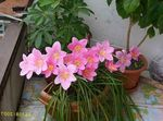 pink Indoor Flowers Rain Lily,  herbaceous plant, Zephyranthes Photo