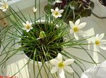 white Indoor Flowers Rain Lily,  herbaceous plant, Zephyranthes Photo