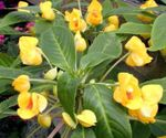 Photo Patience Plant, Balsam, Jewel Weed, Busy Lizzie  description