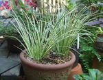 Photo Acorus Herbaceous Plant description