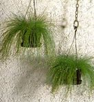 Photo Fiber-optic grass Herbaceous Plant description