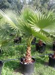 Photo Washingtonia Tree description