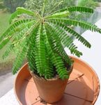 Photo Biophytum, Sensitive Plant  description