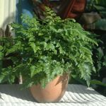 Photo Leatherleaf fern Herbaceous Plant description