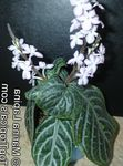 Photo Chamaeranthemum, India Plant  description