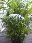 green Indoor Plants Bamboo palm shrub, Chamaedorea Photo