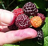 Jewel Black Raspberry Fruit Bush Seed (30+ Seeds Per Pack) Photo, best price $2.99 new 2018