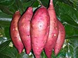 Giant Sweet Potato Seeds Health Anti-wrinkle Nutrition Green Vegetable Seed For Home Garden 50pcs/bag Photo, best price $6.21 new 2018