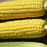 Xtra-Sweet Hybrid Corn Seeds - 105 Seeds - Organic - DH Seeds - UPC0742137106605 - Plant Marker Included Photo, best price $6.09 new 2019