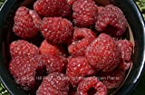 6 Potted Joan J Thornless Ever Bearing Red Raspberry Plants Photo, best price  new 2019