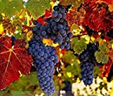 ADB Inc Rare French Cabernet Sauvignon Grape Bush Organic Seeds Photo, best price $1.94 new 2019