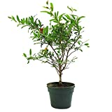 AMERICAN PLANT EXCHANGE Dwarf Pomegranate Tree Indoor/Outdoor Pre-Bonsai Live Plant, 1 Gallon, Fruit Producing Photo, best price $24.99 new 2019