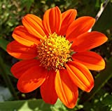 Mexican Sunflower Flower Seeds,100+ Premium Heirloom Seeds, (Tithonia rotundifolia), Isla's Garden Seeds, 90% Germination Rates, Highest Quality Seeds Photo, best price $5.99 new 2019