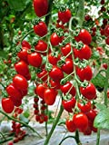 Tomato Red Cherry Grape Tomato 50+Seeds -Tiny Small Sweet Red Cherry Tomato Organic Non-gmo Sweet Fresh Fruit Vegetable Garden Seeds For Planting Tasty Great for Salads Juice Photo, best price $7.99 new 2019