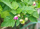 Salmonberry Bush - 1 Bare Root Plant - Rubus spectabilis - Salmonberries - By Yumheart Gardens Photo, best price $9.99 new 2019