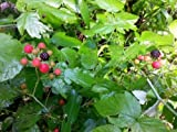 50 BLACK RASPBERRY Rubus Fruit Bush Vine Seeds Photo, best price $2.95 new 2018
