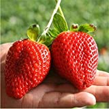 Giant Strawberry Seeds, PATHONOR 100Pcs Giant Red Strawberry Organic Seeds Garden Photo, best price $1.75 new 2019