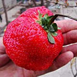 300/bag Giant Strawberry Fruit Seeds, Red Sweet Strawberry/Organic Garden Fruit, for Home Garden DIY Planting Photo, best price $7.99 new 2019