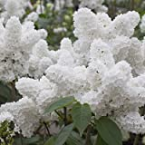 25 White Japanese Lilac Seeds (Extremely Fragrant)/ Photo, best price $0.95 new 2019