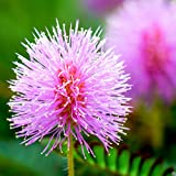Outsidepride Mimosa Pudica Sensitive Plant Seeds - 1000 Seeds Photo, best price $6.49 new 2019