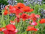 Red Corn Poppy Flower Seeds (Papaver Rhoeas), 0.5 OZ, 100,000+ Seeds by Seeds2Go Photo, best price $5.58 new 2019