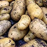 IDEA HIGH Sycamore Trading Seed Potatoes Charlotte x 20 Tubers Photo, best price $22.07 new 2019