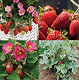 David's Garden Seeds Collection Set Fruit Strawberry LX7449 (Red) 4 Varieties 275 Seeds (Non-GMO, Open Pollinated, Heirloom) Photo, best price $20.95 new 2019