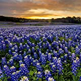 Outsidepride Texas Bluebonnet Seed - 500 Seeds Photo, best price $6.49 new 2019