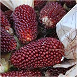 Seed Needs 500 Seeds, Ornamental Corn Strawberry (Zea mays) Seeds Photo, best price $7.85 new 2019