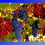 New Rare French Cabernet Sauvignon Grape Bush Organic Seeds, Professional Pack, 15+ Seeds / Pack Photo, best price $5.47 new 2019
