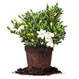 Kleim's Hardy Gardenia - Size: 1 Gallon, Live Plant, Includes Special Blend Fertilizer & Planting Guide Photo, best price $23.64 new 2019