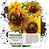 Seed Needs, Mammoth Grey Stripe Sunflower (Helianthus annuus) 140 Seeds Non-GMO Photo, best price $7.85 new 2019